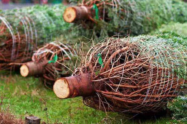 Weihnachtsbaumschlagen die Weihnachtsfeier, Emmerich Events