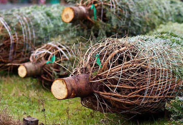 Weihnachtsbaumschlagen in Köln, die Weihnachtsfeier in Köln, Weihnachtsfeier, Weihnachtsevent in Köln, Weihnachtsfeier Köln, Weihnachtsfeier Köln, Firmenevents, Firmenevent in Köln